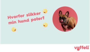 Hvorfor slikker min hund sine poter? og fransk bulldog