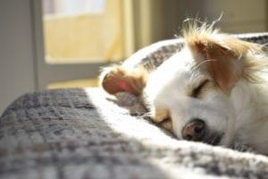 hund sover i sengen