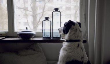 hund alene hjemme kigger ud af vinduet