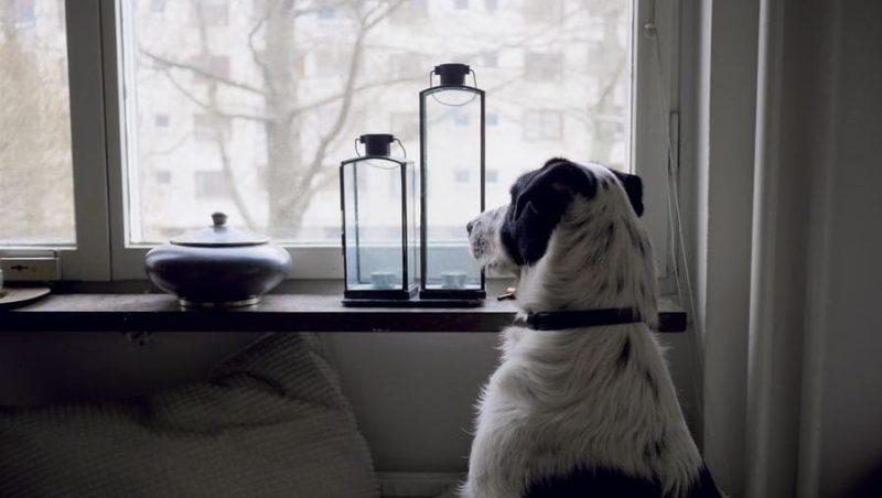 hund alene hjemme kigger ud af vinduetVuffeli hundeblog