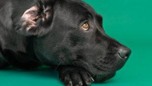 Labrador der ligger og slapper af