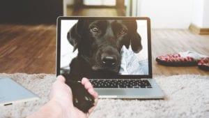 hund labrador på skærm