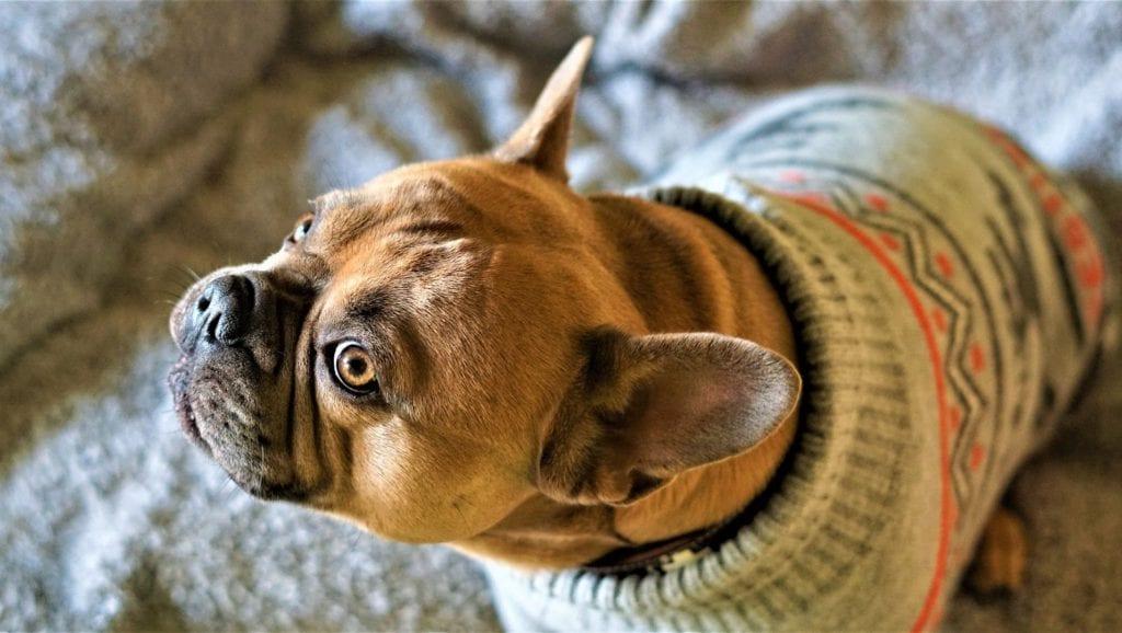 hund med trøje påVuffeli hundeblog