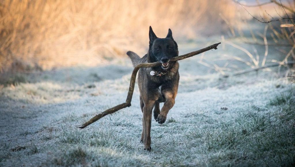 hund løber med pindVuffeli hundeblog