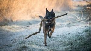 hund løber med pind