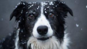 hund med sne