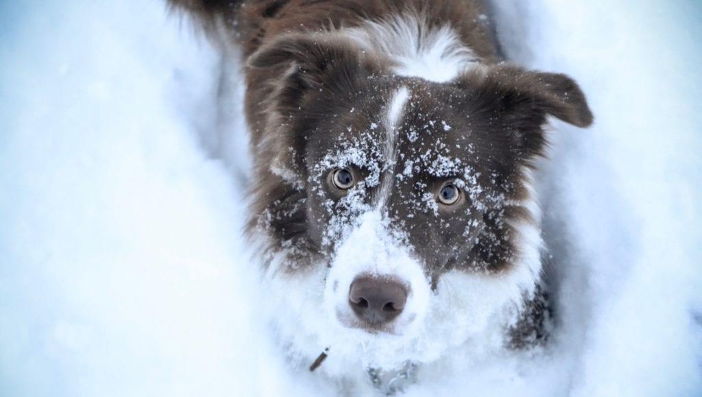 hund har leget i sneVuffeli hundeblog