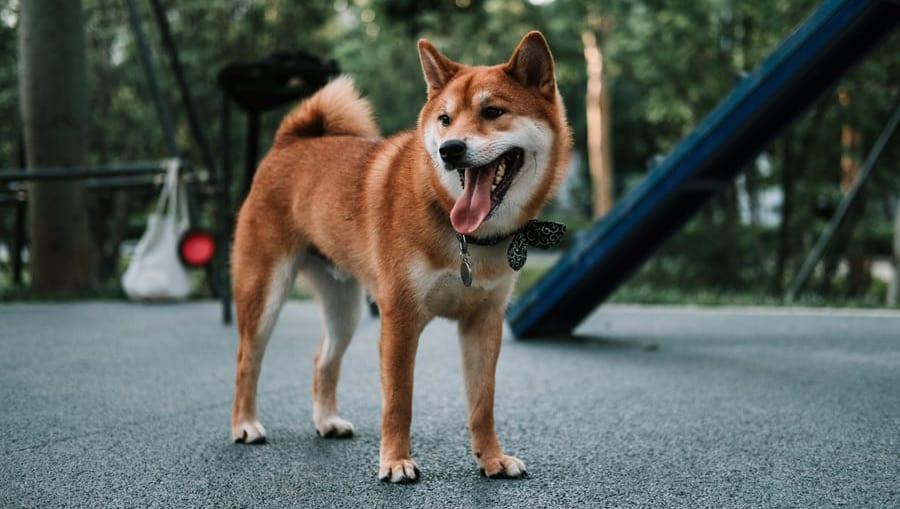 shiba er gladVuffeli hundeblog