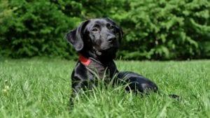 labrador retriever i græs