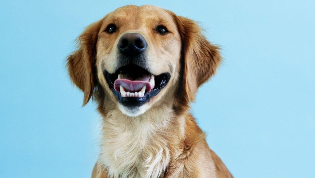 golden retriever med blå baggrundVuffeli hundeblog