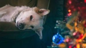 hund ligger på sofaen ved siden af juletræ