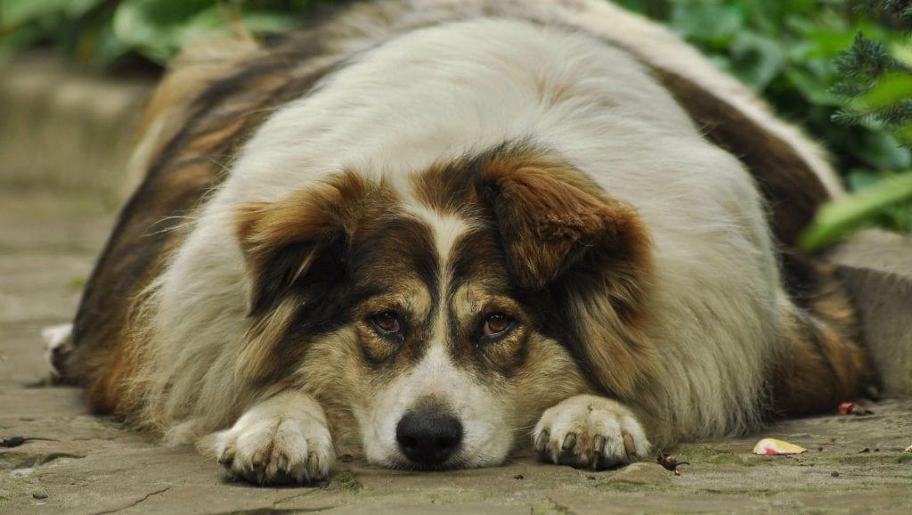 tyk hund liggerVuffeli hundeblog
