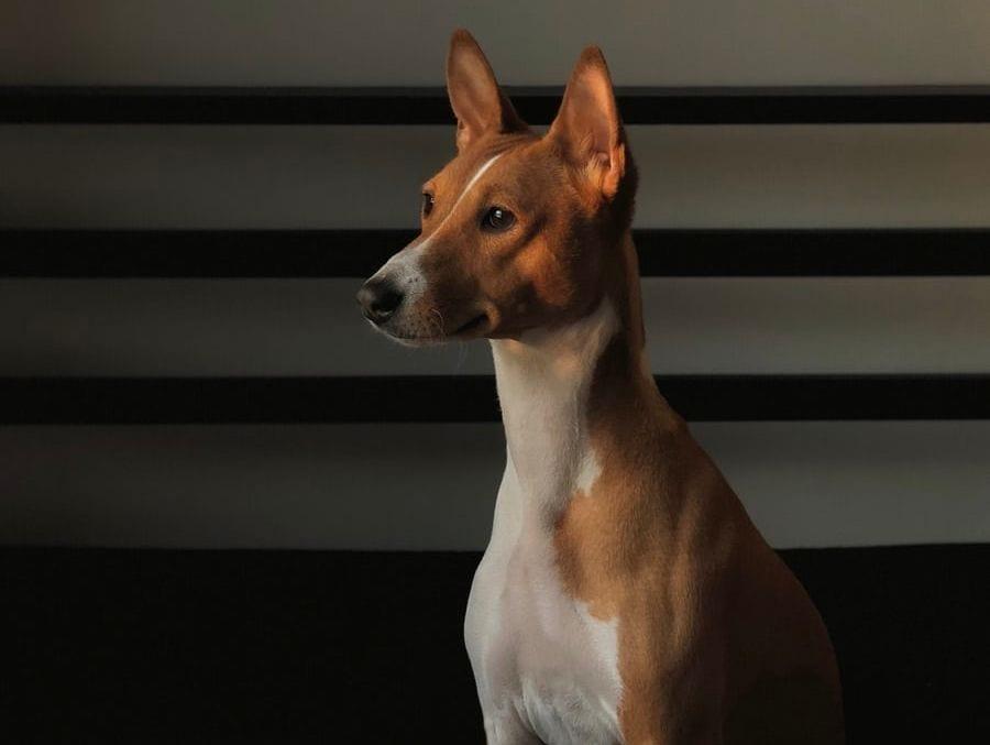 hund kigger koncentreret på noget