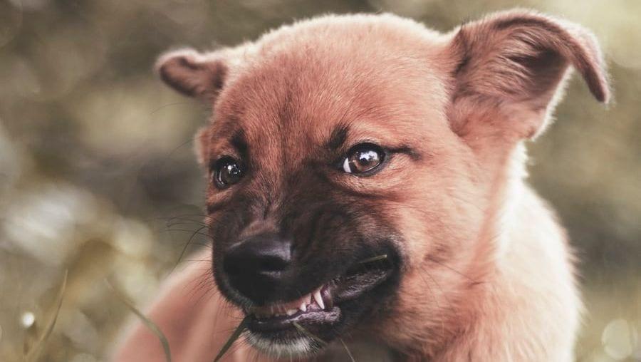 hund viser tænder og knurrerVuffeli hundeblog