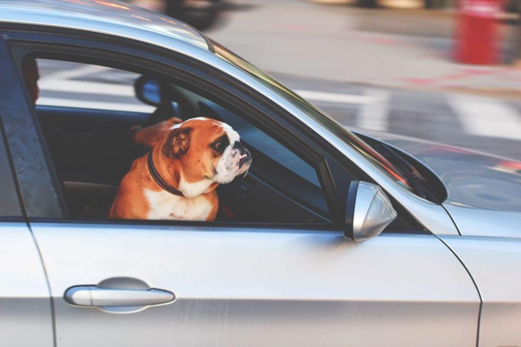 hund i bil på forsæde kigger frem