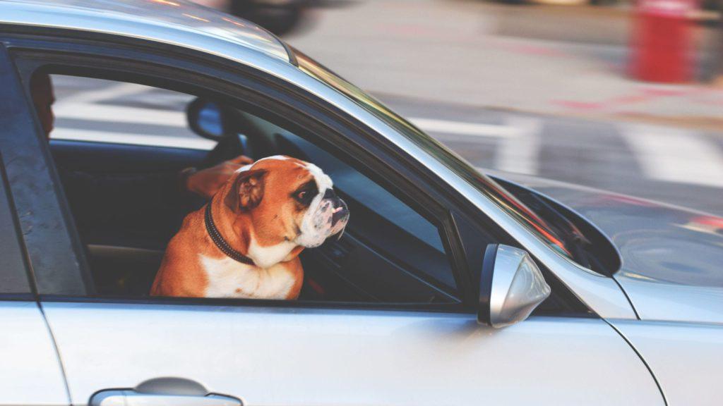 hund i bil på forsæde kigger fremVuffeli hundeblog
