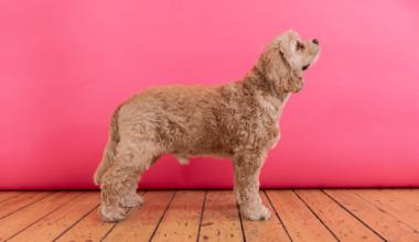 hund i position så man kan vurdere dens idealvægt