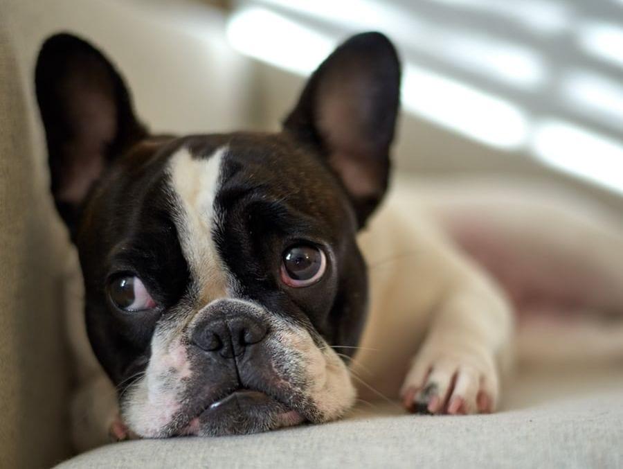 fransk bulldog ligger i sofaen