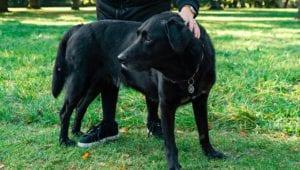 labrador retriever græs søndermarken vuffeli