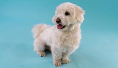hvid hund på blå baggrund