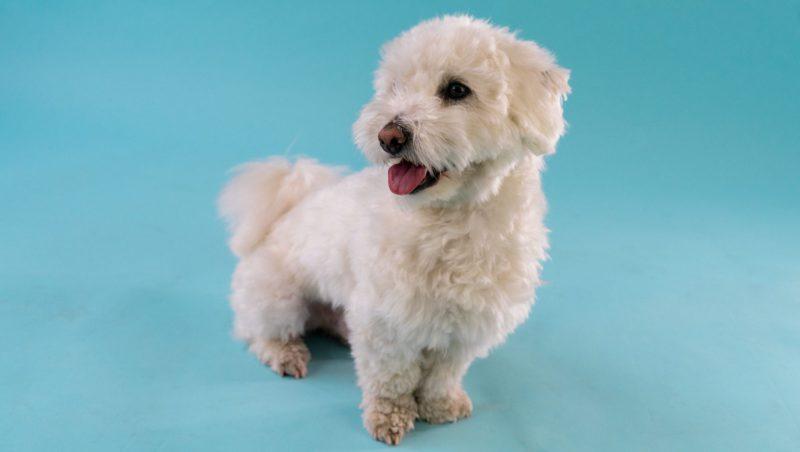 hvid hund på blå baggrundVuffeli hundeblog