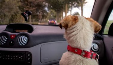 hund sidder på forsædet og kigger ud i bil