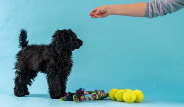 Sådan træner du din hundehvalp