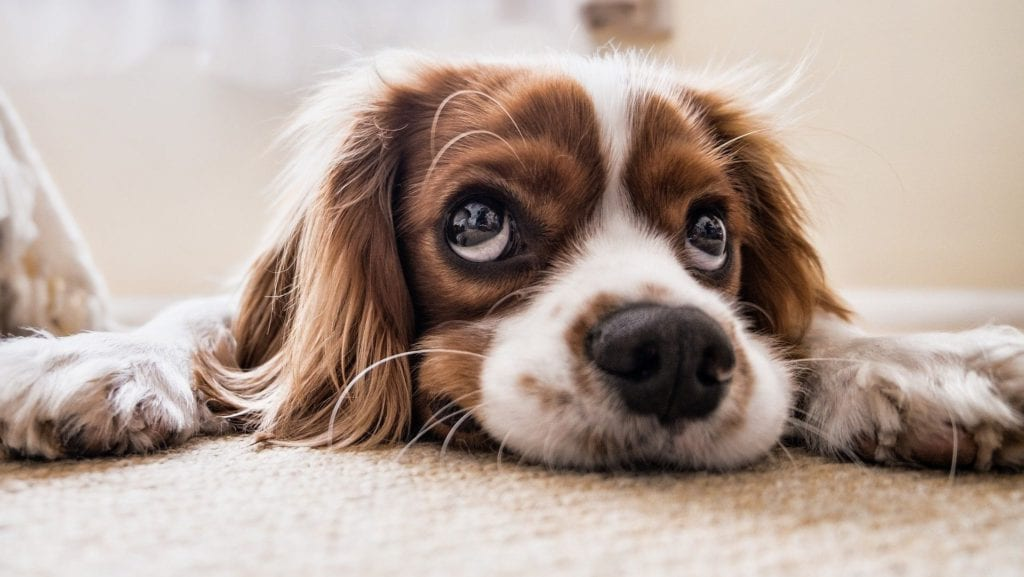 hund ligger på tæppeVuffeli hundeblog