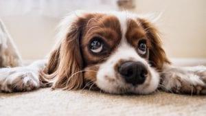 hund ligger på tæppe