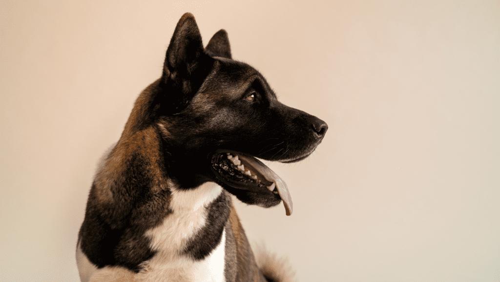 hund kigger til siden med tungen udeVuffeli hundeblog