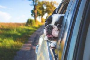 hund i bil kigger ud