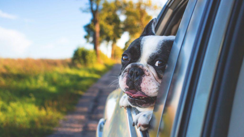 hund i bil kigger udVuffeli hundeblog