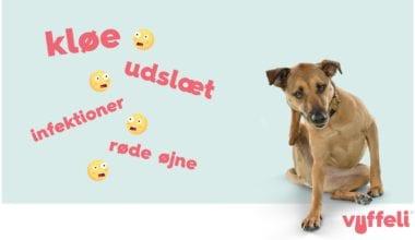Allergi hos hunde: Kløe, udslæt, infektioner, røde øjne