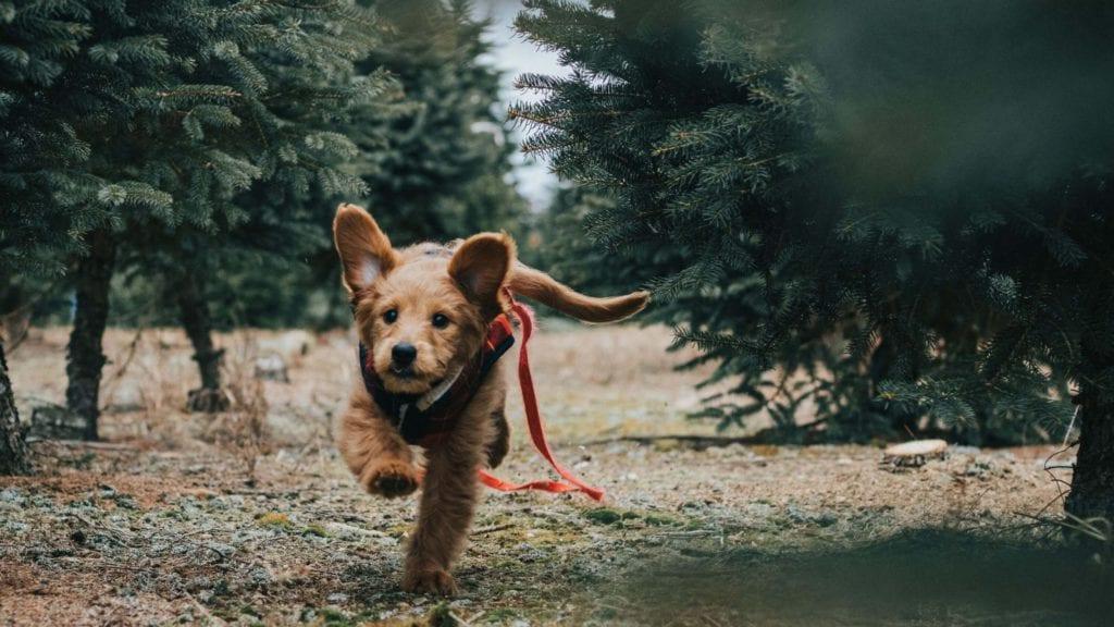 hund løber i naturen uden snorVuffeli hundeblog