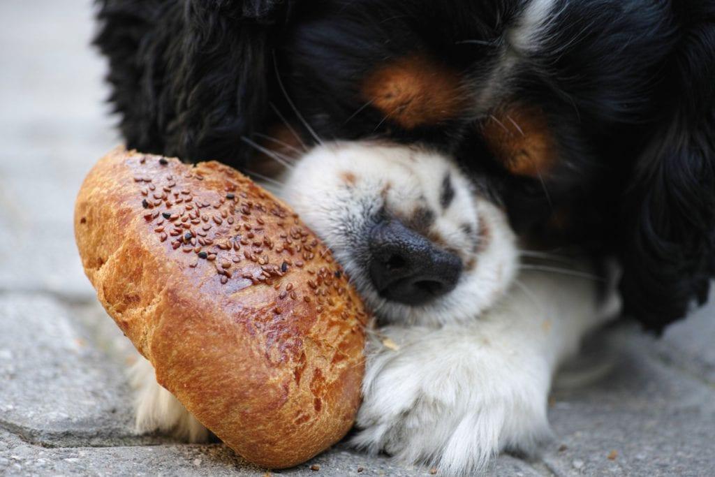hund spiser en bolle