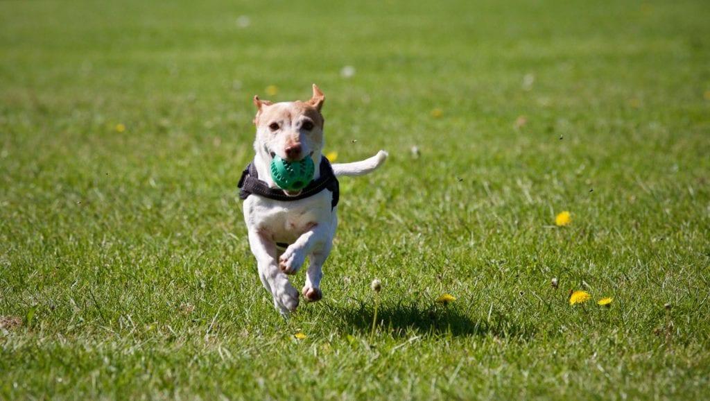hund løber med bold i munden