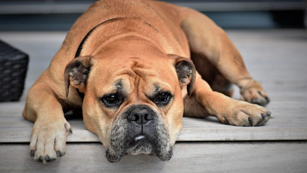hund ligger på terrassenVuffeli hundeblog