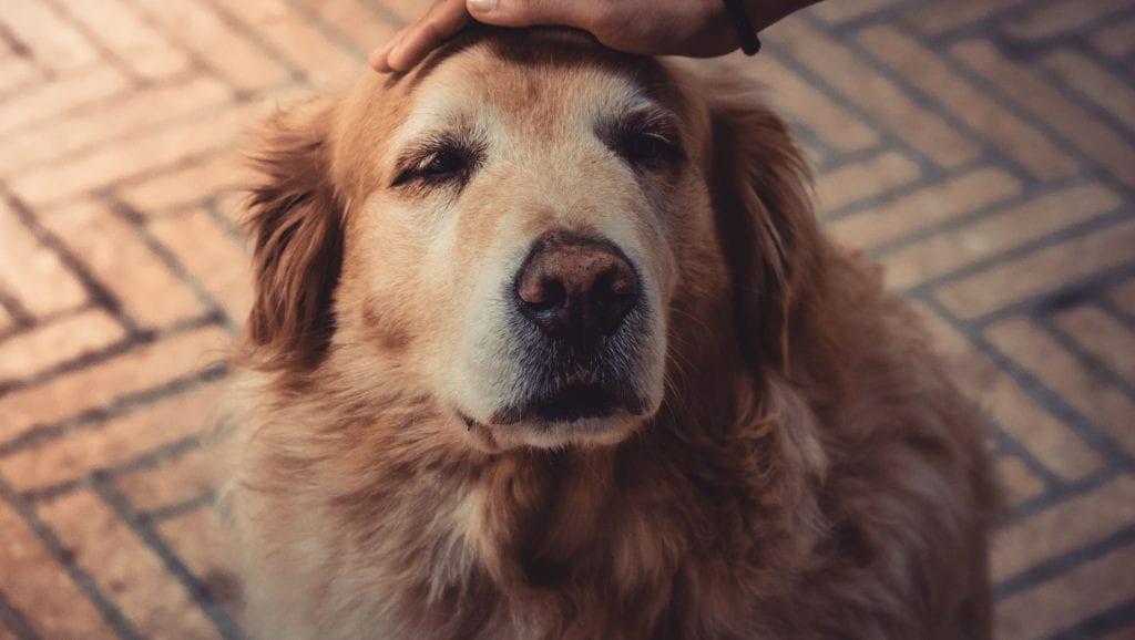 hund bliver aetVuffeli hundeblog