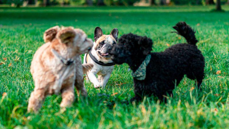 hunde leger sammen på græs