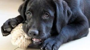 sort labrador hund leger med legetøj