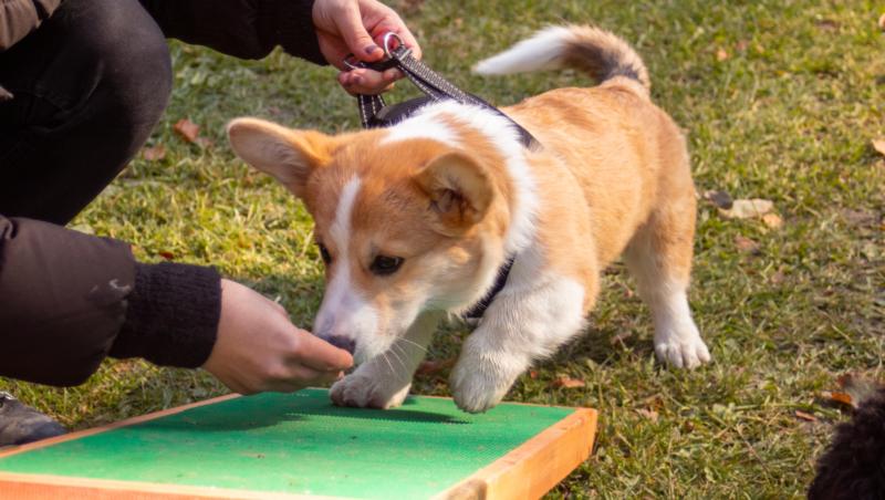 corgi laver agility og dufter til godbidVuffeli hundeblog