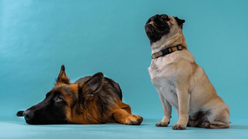 mops kigger op og schæfer liggerVuffeli hundeblog