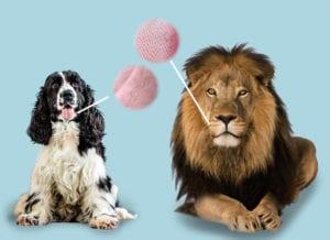 hundens tunge sammenlignet med løvens tunge
