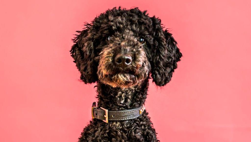 puddelhund portrætVuffeli hundeblog