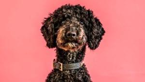 puddelhund portræt