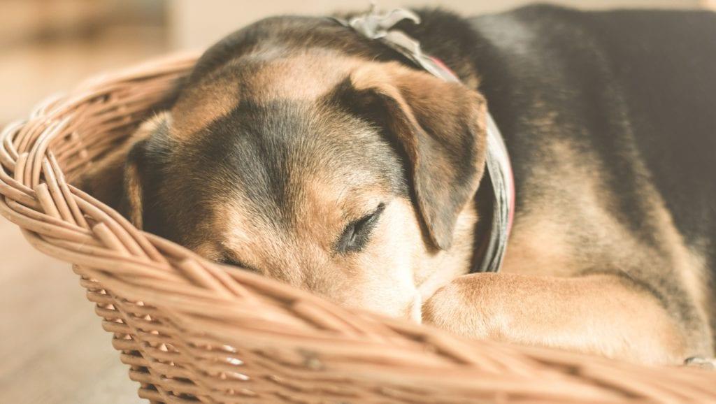 hund ligger i hundekurvVuffeli hundeblog