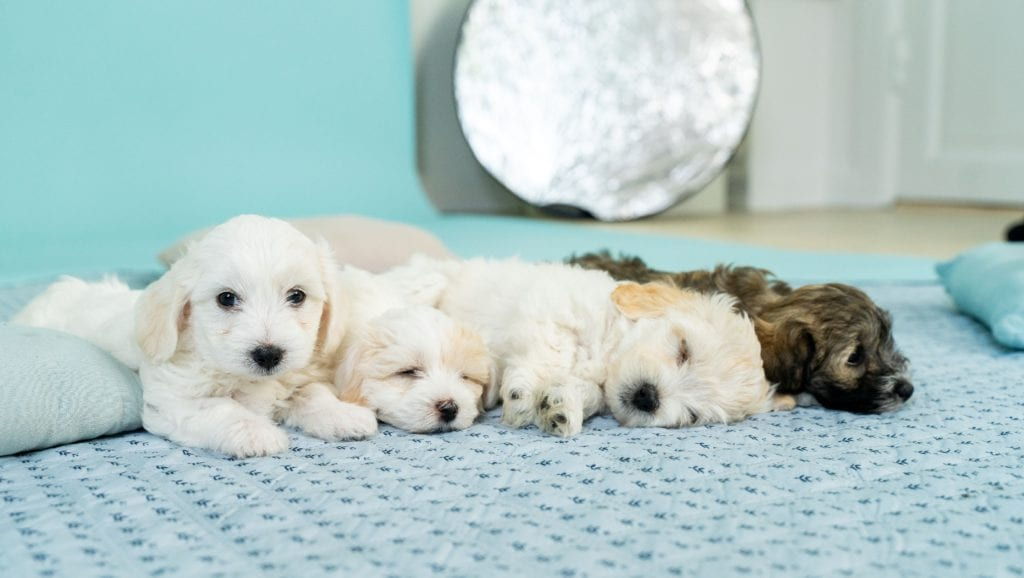 nyfødte hundehvalpe ligger på tæppe