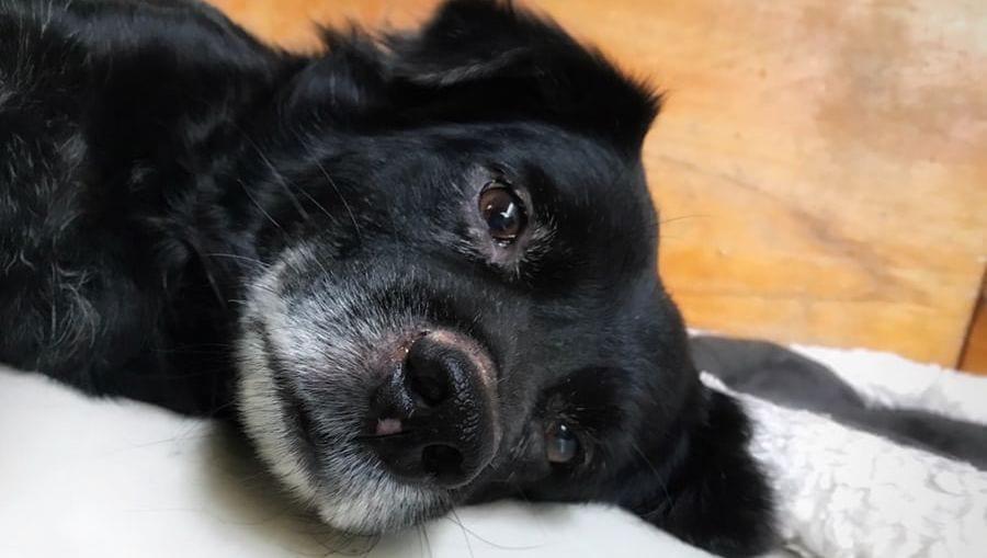 gammel hund liggerVuffeli hundeblog