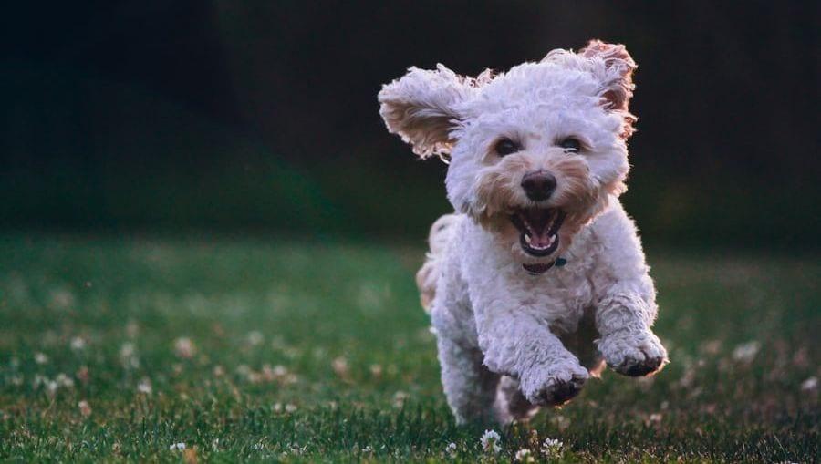hvid hund løber og har det sjovt på græs