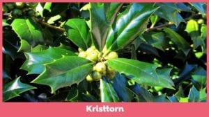 Kristtorn